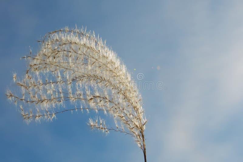 草的蓬松小尖峰在风的在天空蔚蓝背景  库存照片