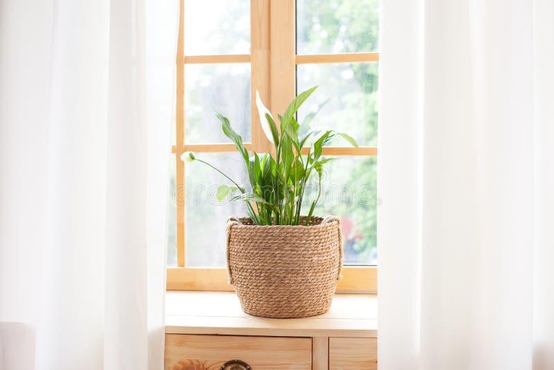 草盆栽石豆兰 窗台上的家用植物 家居园艺概念 鸡血球 库存图片