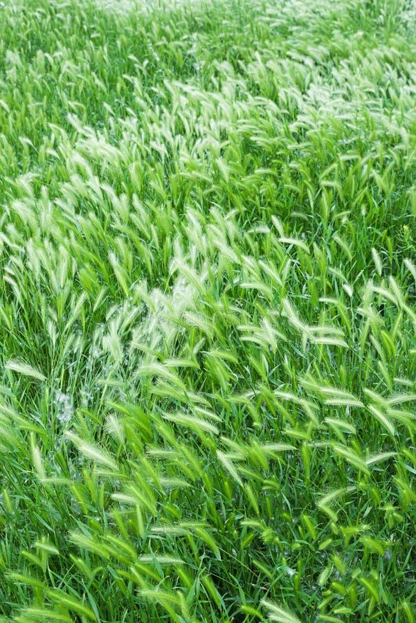 草种子头 免版税库存照片