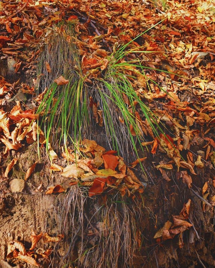 草站直生长在干旱的土地在秋天期间 免版税库存照片