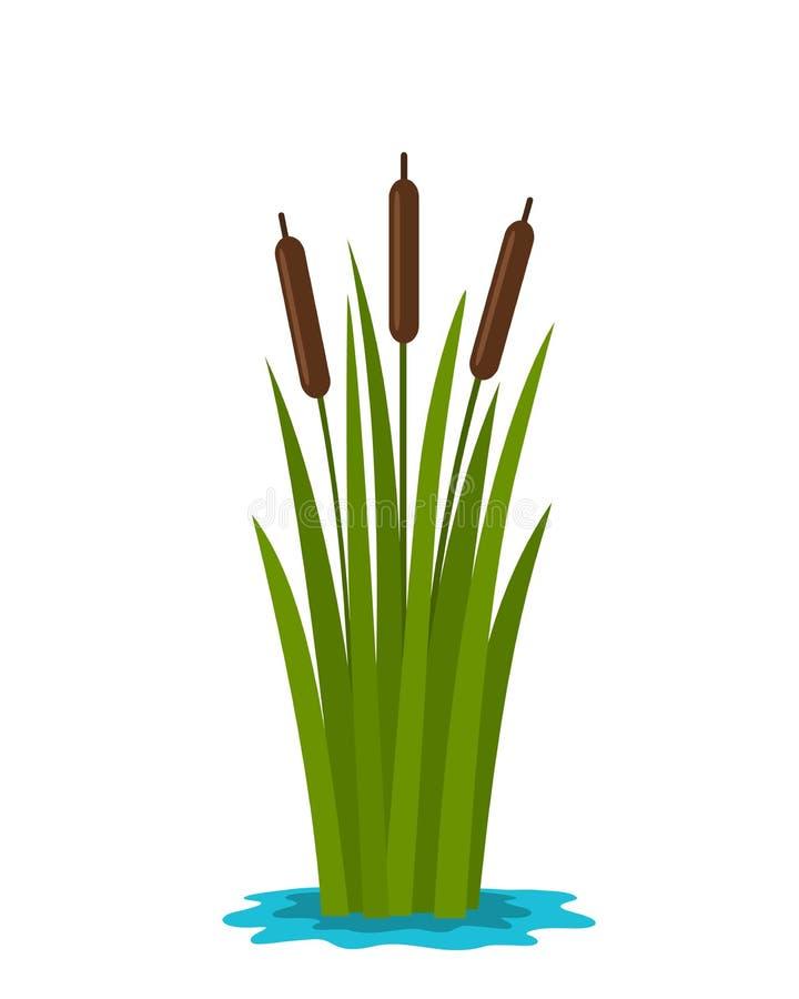 草芦苇在池塘的水中 r 皇族释放例证