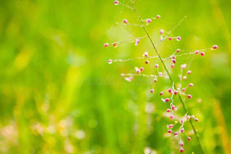 草花与从早晨sunris的露滴和bokeh光 免版税库存照片