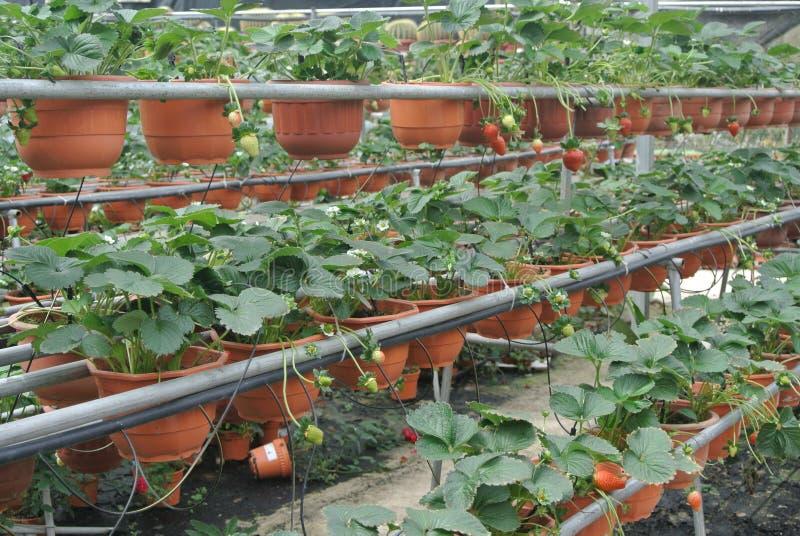草莓农场在喀麦隆高地马来西亚 免版税图库摄影