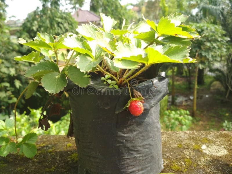 草莓农场 免版税库存照片