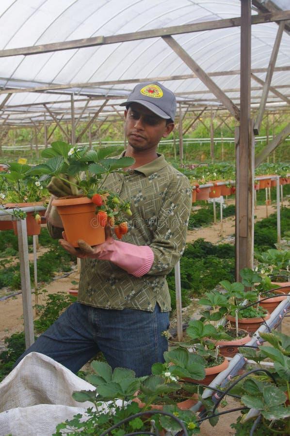 草莓农场 免版税库存图片