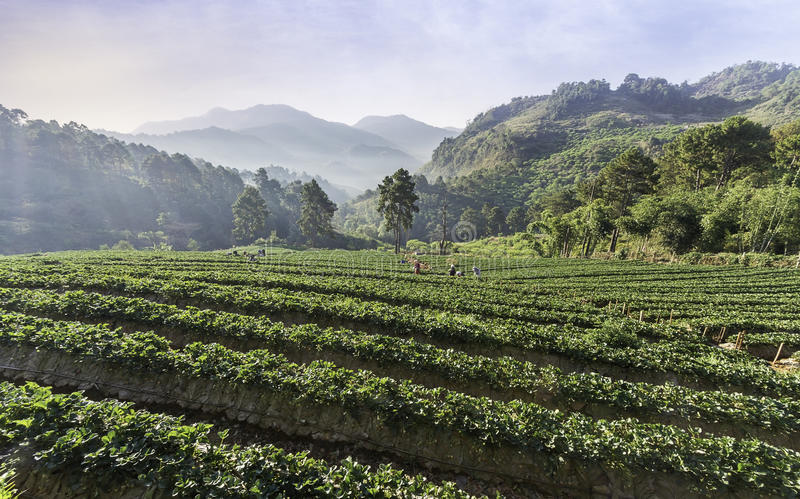 草莓农田 免版税库存照片