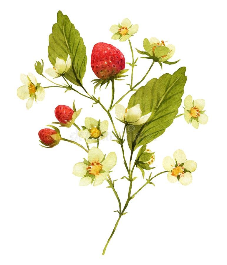 草莓分支与bloosom并且结果实水彩illustrat 库存例证
