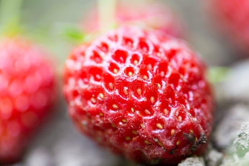 草莓在户外庭院里 关闭 库存图片
