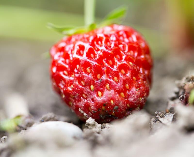 草莓在户外庭院里 关闭 免版税库存照片