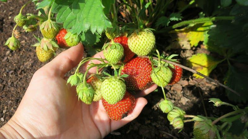 草莓在手中 图库摄影