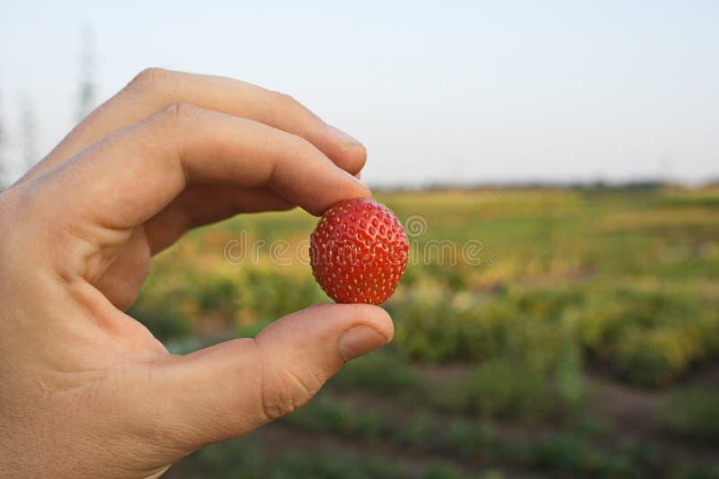草莓在手中 免版税图库摄影