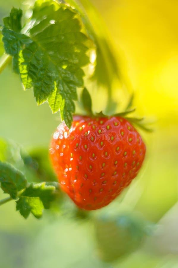 草莓在美好的精美绿色的庭院里 草莓特写镜头在庭院里 库存图片