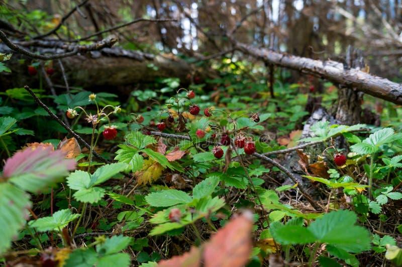 草莓天堂 免版税库存照片