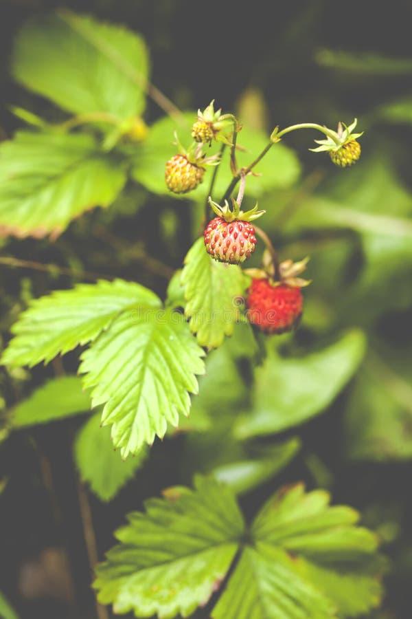 草莓属vesca,一般叫作森林地草莓 免版税库存图片