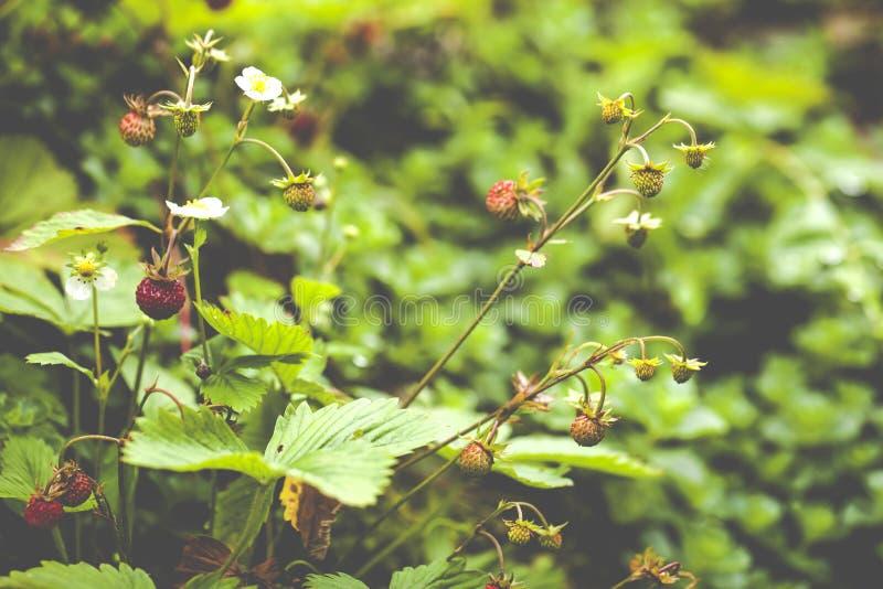 草莓属vesca,一般叫作森林地草莓 图库摄影
