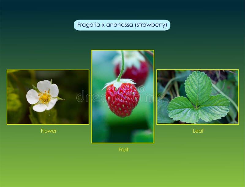 草莓属x ananassa 免版税库存照片