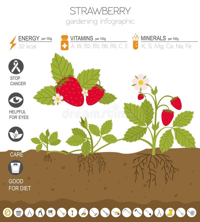 草莓有利特点图表模板 从事园艺,种田infographic,它怎么增长 平的样式设计 向量例证