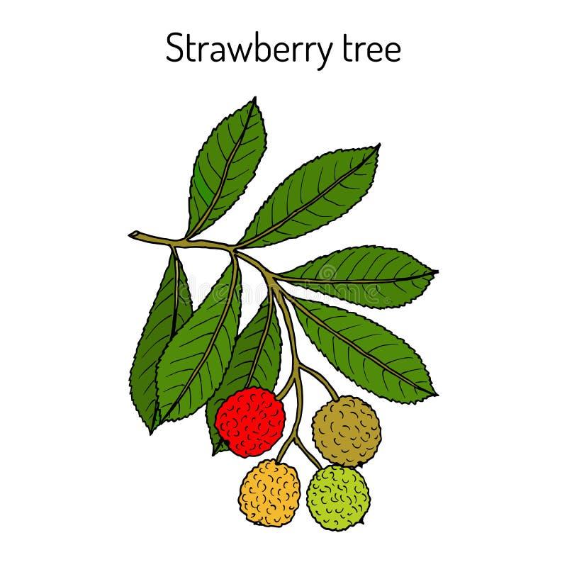 草莓树杨梅unedo,药用植物 库存例证