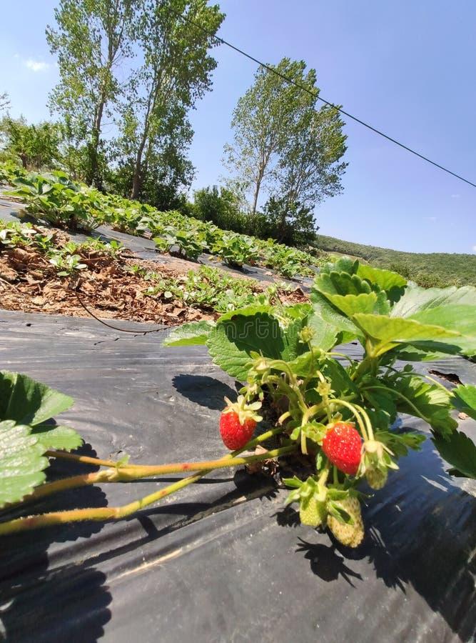 草莓植物在庭院里增长 库存图片