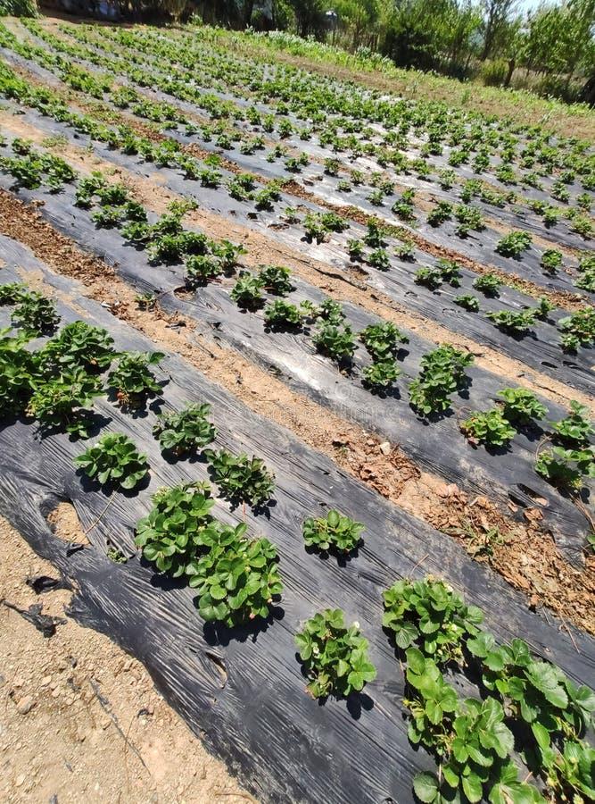 草莓植物在庭院里增长 图库摄影