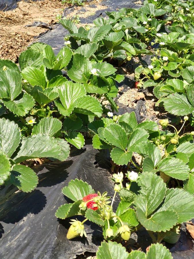 草莓植物在庭院里增长 免版税库存图片