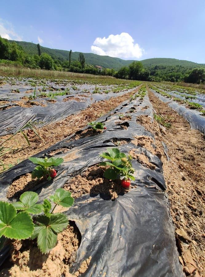 草莓植物在庭院里增长 免版税图库摄影