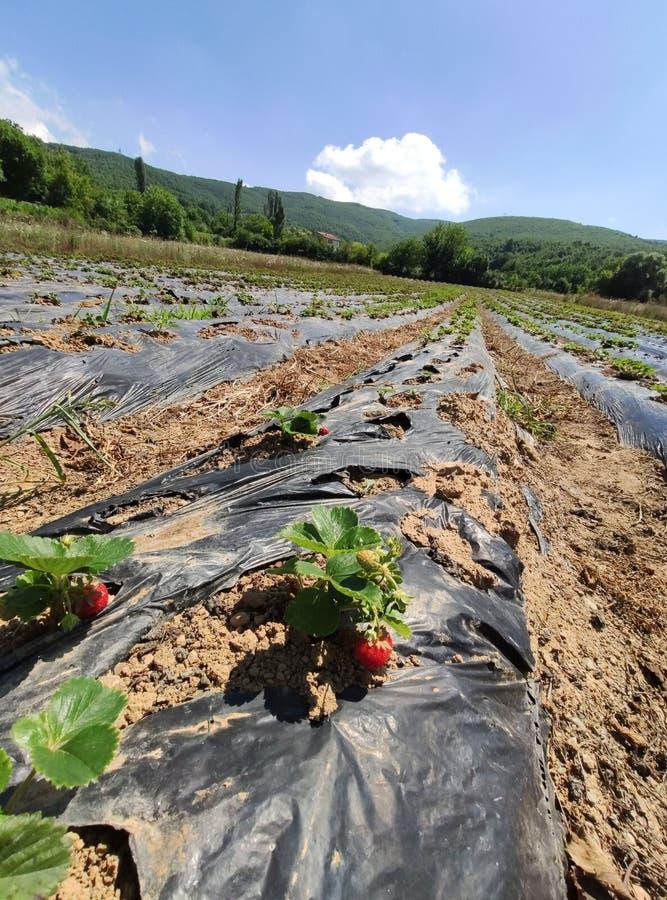 草莓植物在庭院里增长 库存照片