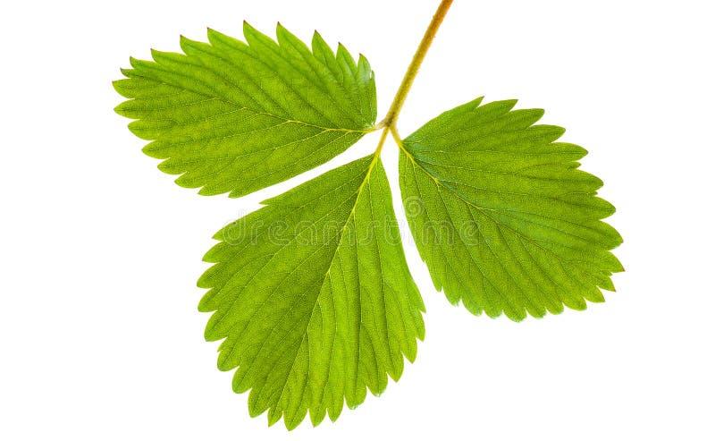 草莓植物新鲜的绿色叶子  在白色backgr的特写镜头 免版税库存照片