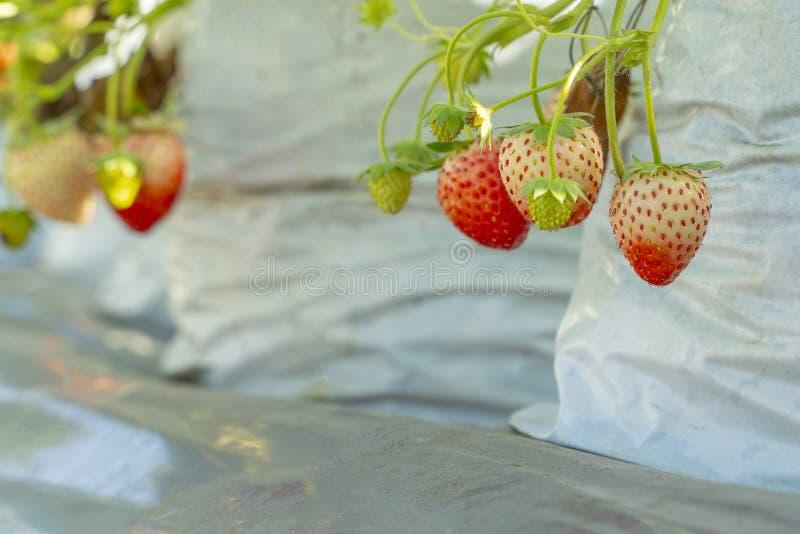 草莓植物特写镜头在庭院里 免版税库存图片