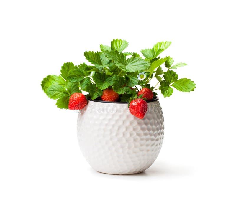 草莓植物用在白色隔绝的小罐的莓果 库存图片