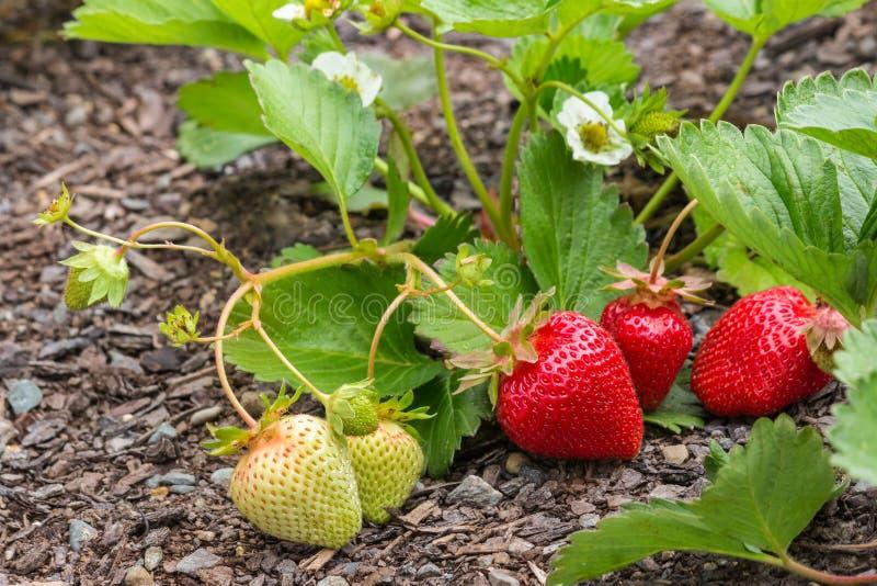 草莓植物用成熟草莓、花和叶子 图库摄影