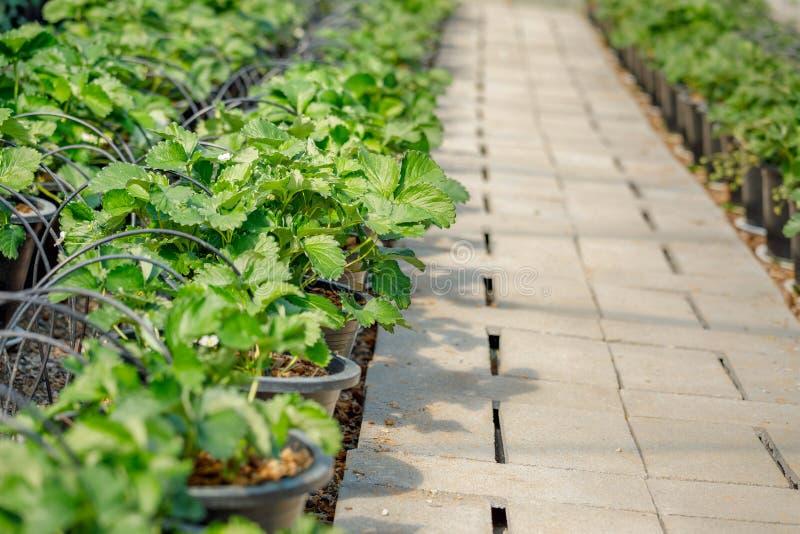 草莓植物自温室 库存图片