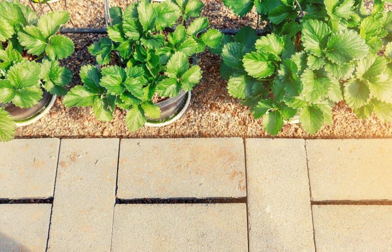 草莓植物自温室 库存照片