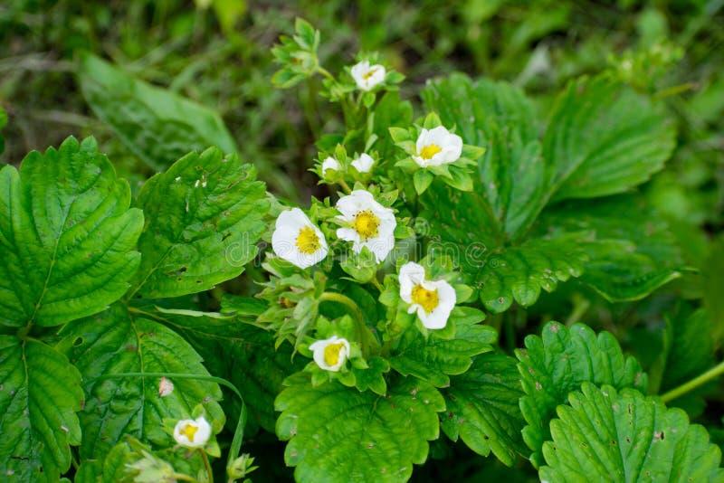 草莓植物 开花草莓 狂放的stawberry灌木 在成长的草莓在庭院 库存图片