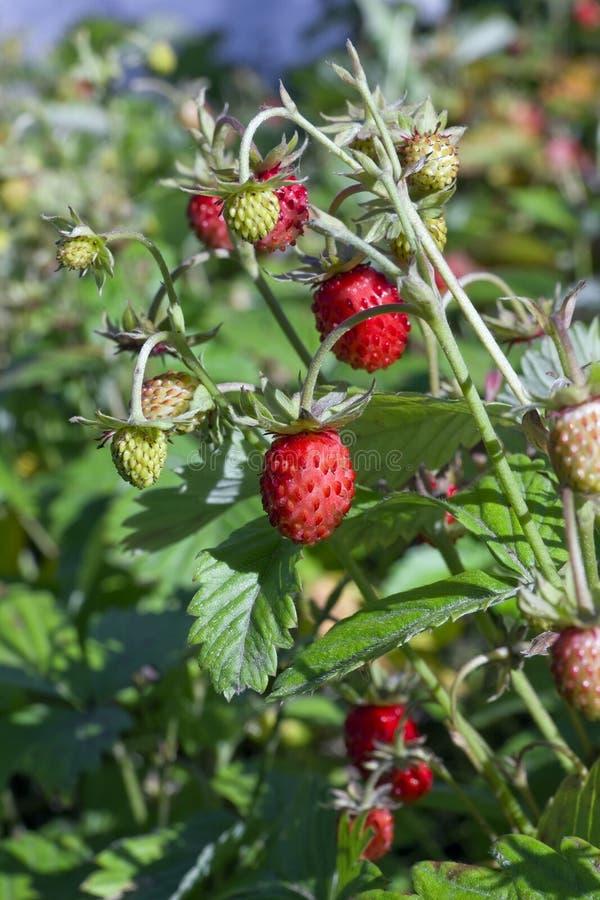 草莓永远调遣歌曲 库存图片