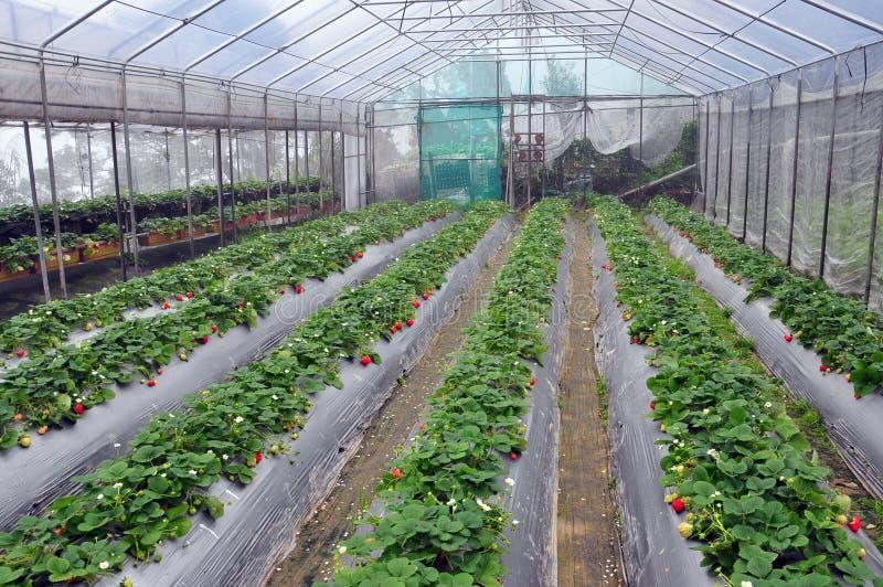 草莓温室 图库摄影