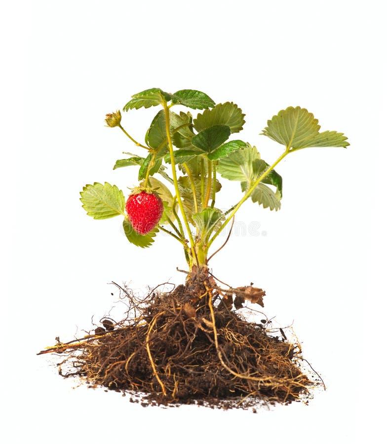 草莓灌木 库存图片