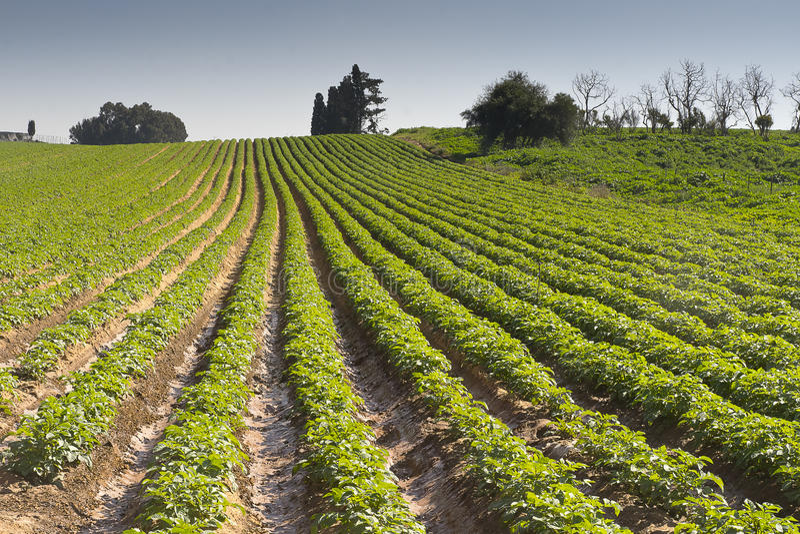 草莓犁沟在Elyachin,以色列 库存图片