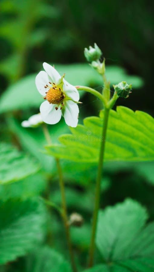 草莓白花接近的射击在反对绿色背景的庭院里 库存照片