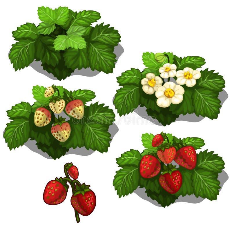 草莓的种植和耕种 向量 库存例证