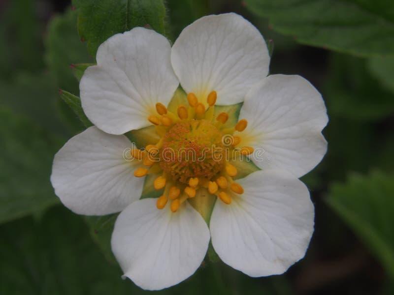 草莓的花蕾 白色瓣 库存照片