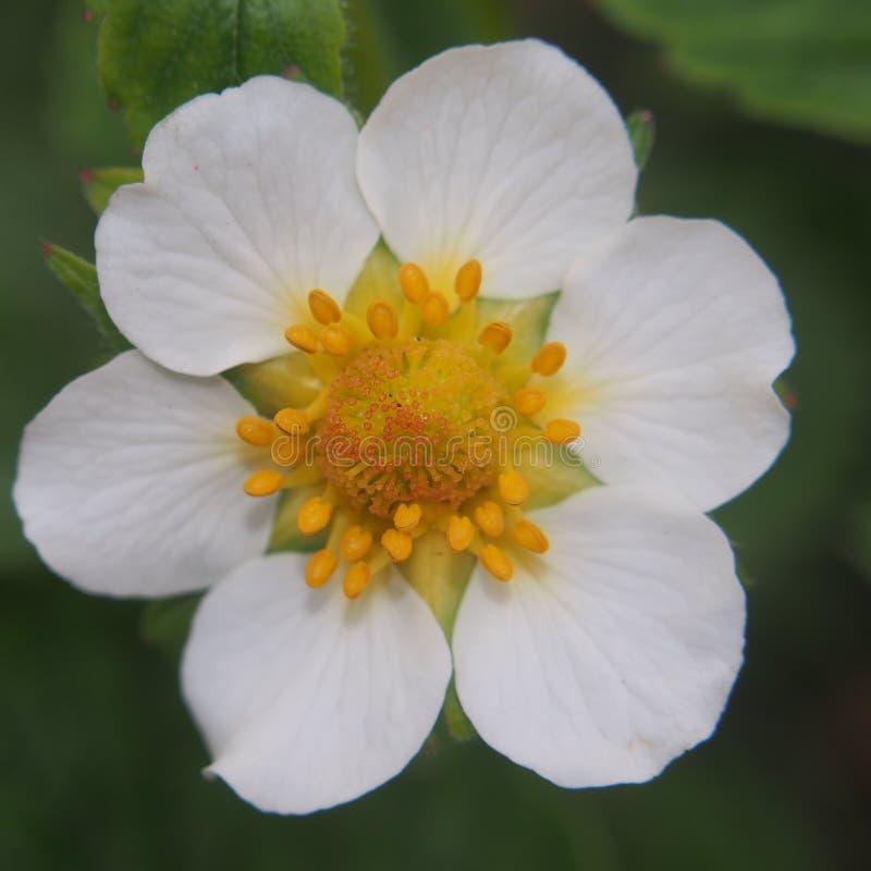 草莓的花蕾 白色瓣 免版税库存图片