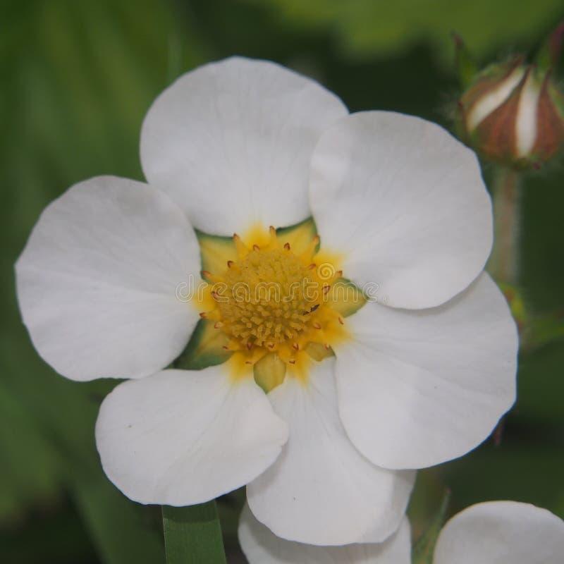 草莓的花蕾 白色瓣 免版税图库摄影
