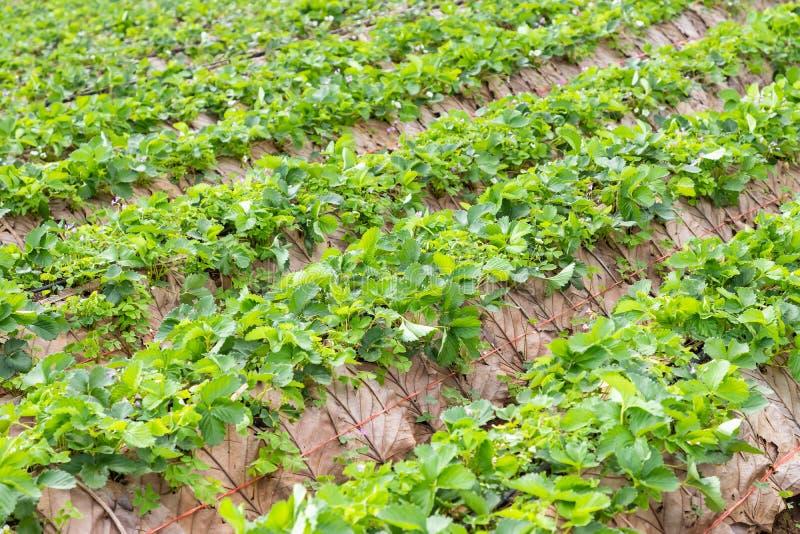 草莓种植园农场 免版税库存图片