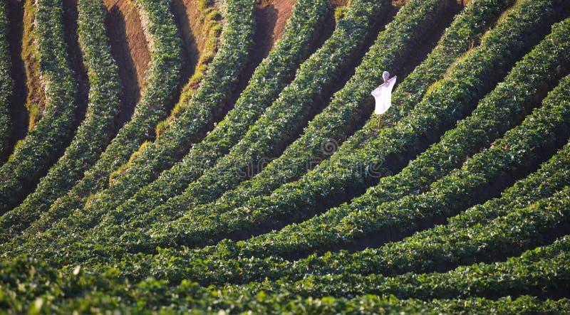 草莓种植园 免版税库存照片