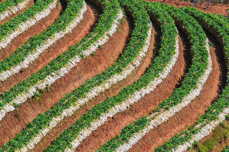 草莓种植园 图库摄影