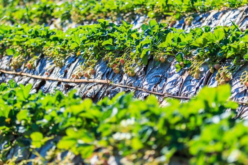 草莓种植园 免版税库存图片