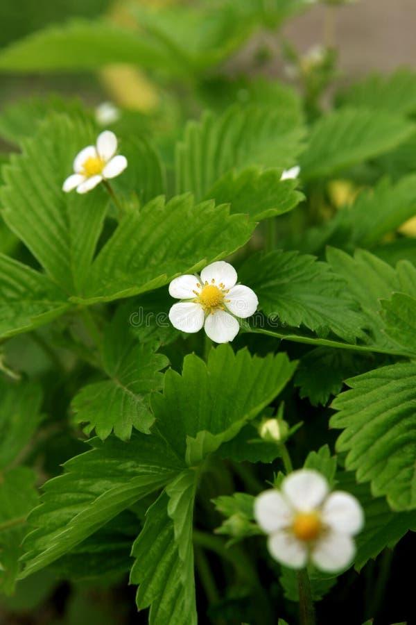 草莓绽放在庭院,有机果子里增长 与白花的草莓灌木 特写镜头射击 库存图片
