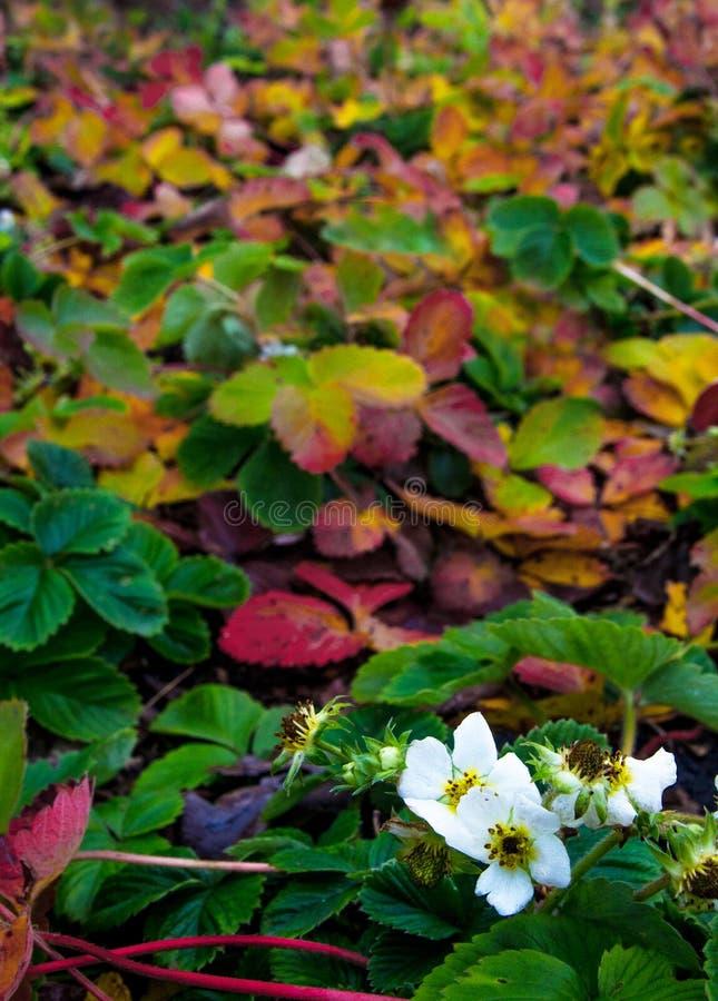 草莓绽放在晚秋天 草莓绽放在有色的叶子的一个庭院里 免版税库存图片