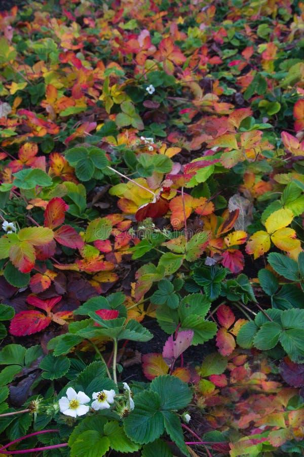 草莓绽放在有色的叶子的一个庭院里在秋天 库存图片
